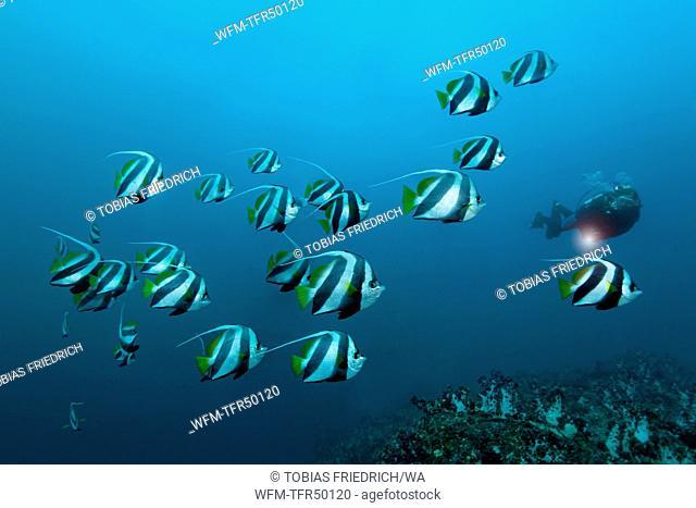 Shoal of Pennant Bannerfish, Heniochus diphreutes, Hallaniyat Islands, Arabian Sea, Oman