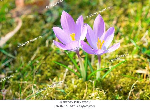 Spring sunlight crocus pastel flowers on sunshine Alpine meadow