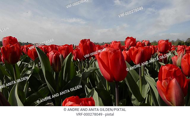 Tulip fields in Holland, dolly shot over red tulips