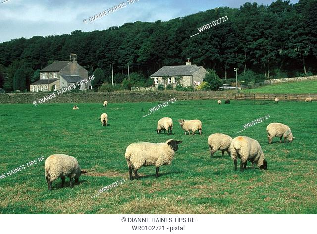 England, Yorkshire. Sheep and country houses