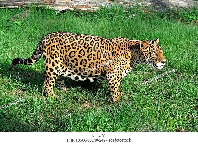 Jaguar Panthera onca adult male, standing, Pantanal, Mato Grosso, Brazil