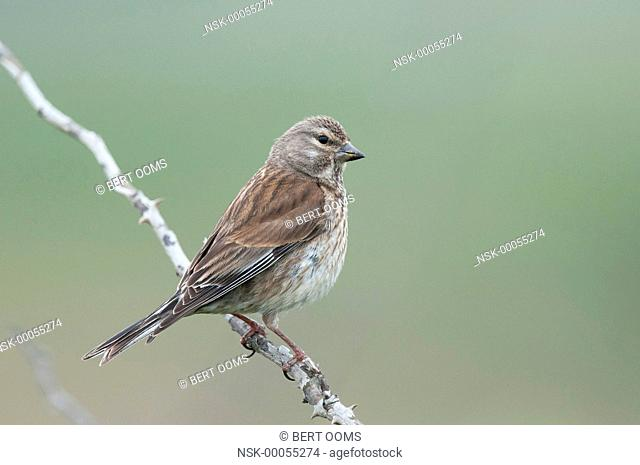 Female Common Linnet (Linaria cannabina) elegantly perched on branch, The Netherlands, Friesland, Ameland