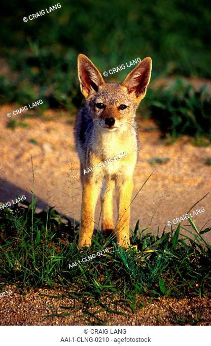 Cape Fox, Mala Mala Game Reserve, Mpumalanga, South Africa