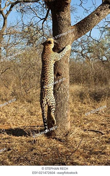 Leopard (Panthera pardus) klettert auf einen Baum