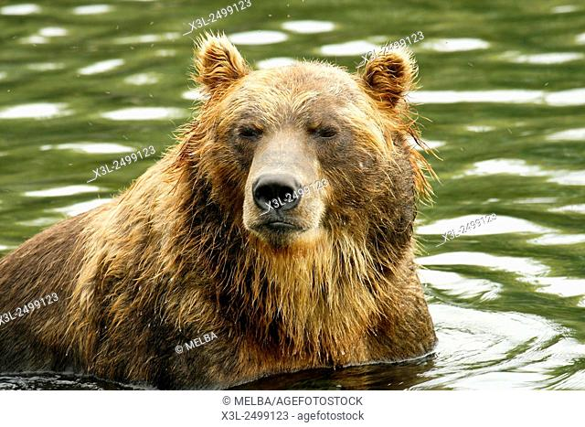 Brown Bear (Ursus arctos) in Kurile Lake, Kamchatka Peninsula. Russia