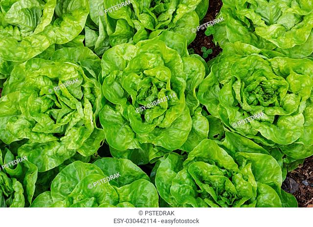 close-up of fresh lettuce growing in vegetable garden