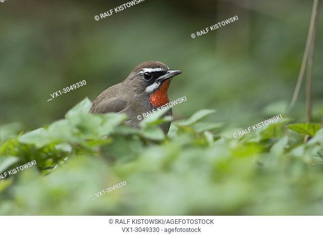 Siberian Rubythroat ( Luscinia calliope ), male bird, sitting on the ground in low vegetation, Hoogwoud, Netherlands, , wildlife, Europe