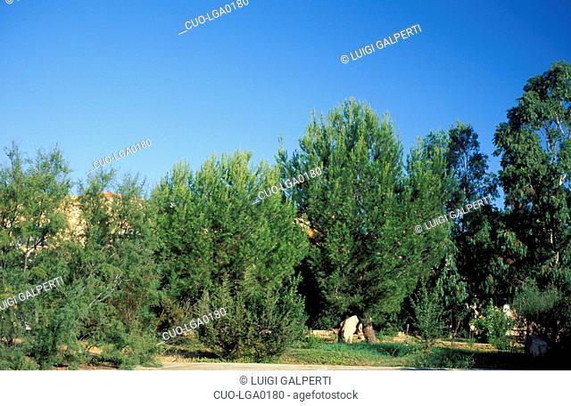 Pinus Halepensis, Pine, Italy