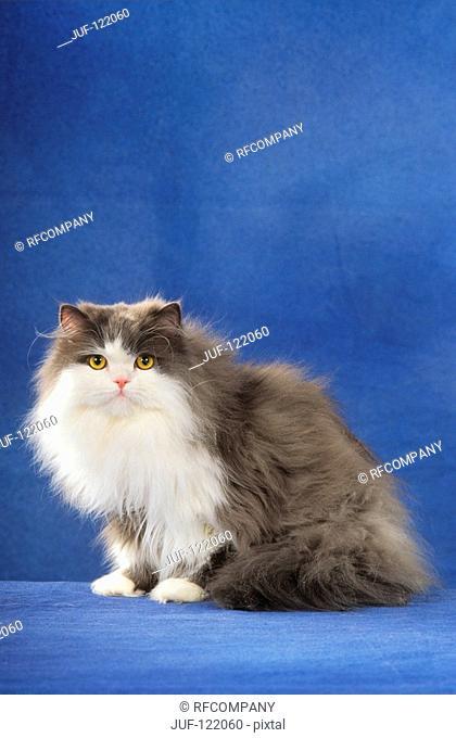 Persian cat - sitting - cut out