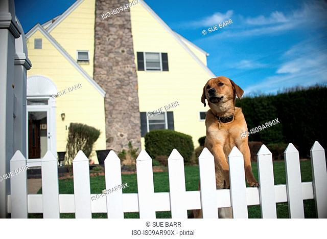 Dog on hind legs looking out from garden fence