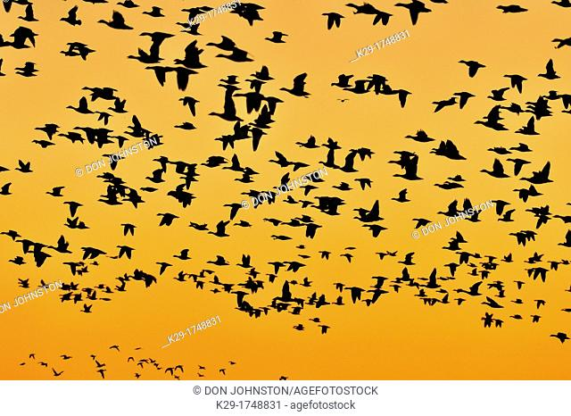 Flock of snow geese rising in flight from roosting ponds at dawn, Bosque del Apache NWR, New Mexico, USA