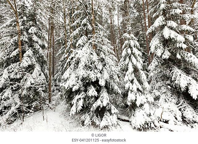 heavy paws of fir trees from snow lying on them after snowfall, photo close-up in winter forest