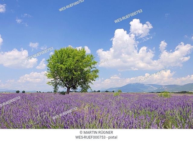 France, Mediterranean Area, Plateau De Valensole, Valensole, View of lavender field with tree