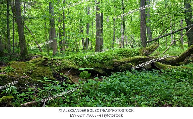 Fresh deciduous stand of Bialowieza Forest in springtime with dead broken oak in foreground,Bialowieza Forest,Poland,Europe