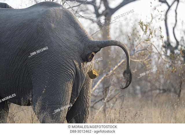 Africa, Southern Africa, South African Republic, Mala Mala game reserve, . African bush elephant or African savanna elephant (Loxodonta africana), defacating