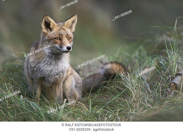 Red Fox ( Vulpes vulpes ) sits in high grass, wonderful soft light, attentively watching for something in the far