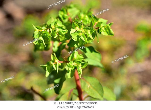 Petty spurge or milk weed (Euphorbia peplus) is an annual plant native to Europe, noth Africa and western Asia but widely naturalized in other temperated or...