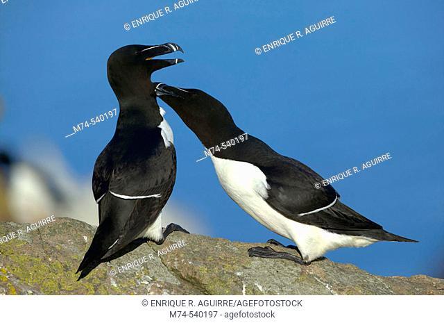 A pair of razorbills during courtship