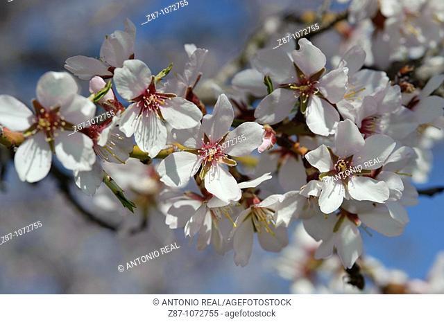 Almond tree in bloom, Budia, La Alcarria, Guadalajara province, Castilla-La Mancha, Spain