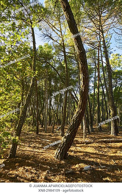 Pine Tees at Autumn. Zamora province, Castile-Leon, Spain