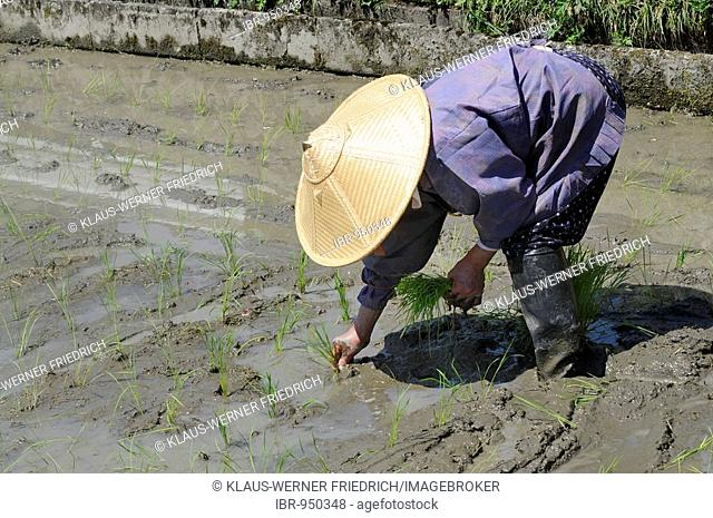 Female rice farmer wearing rice straw hat planting rice shoots by hand, Ohara, Japan, Asia