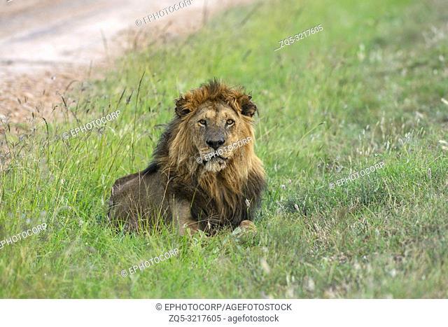 Male lion, Panthera leo, Maasai Mara, Kenya, Africa