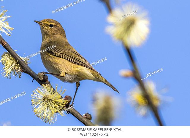 Germany, Saarland, Bexbach, A common chiffchaff is sitting on a branch