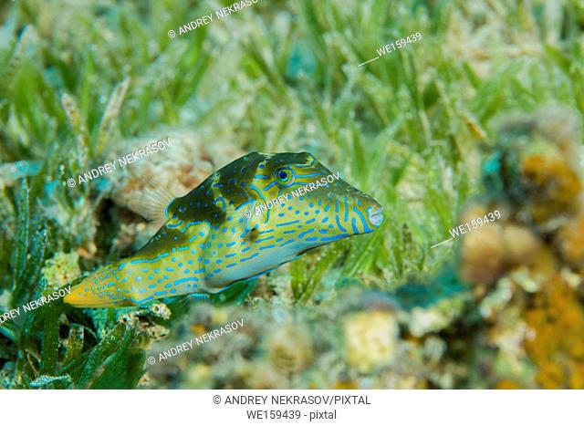 Crowned Puffer (Canthigaster coronata) swim over sea grass