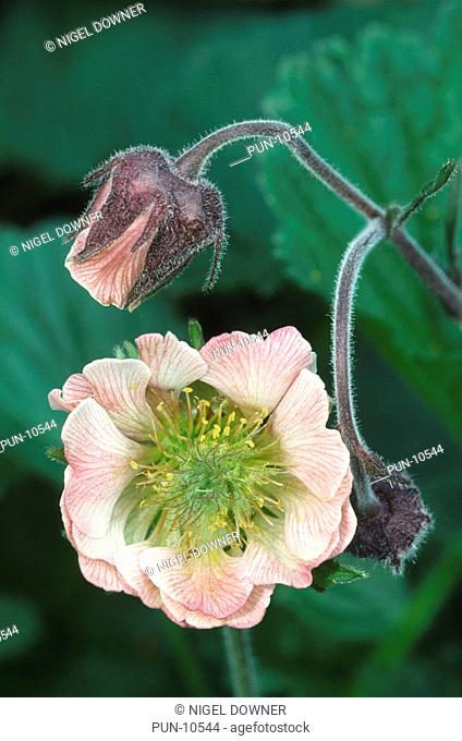 Close-up of water avens flowers Geum rivale showing the more usual tight bud and the rarely opened flower in a damp woodland, Honeypot Wood, Norfolk