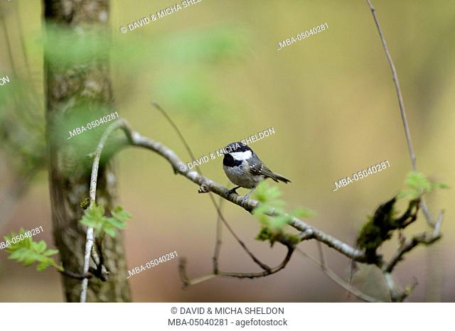 coal tit, Periparus ater, branch, side view, sitting