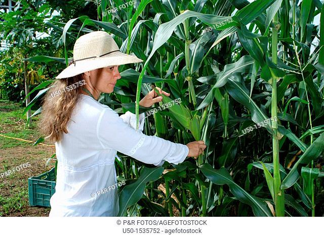 Woman harvesting sweet corn, Zea mays, Poaceae