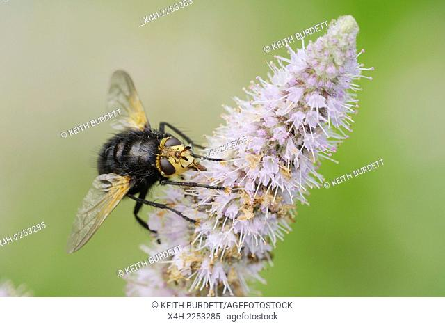 Giant Tachinid Fly, Tachina grossa, parasitic fly, Wales, UK