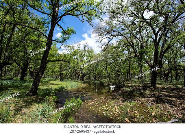 Oak forest, (Quercus faginea), Cabañeros National Park,  Ciudad Real province, Castile La Mancha, Spain