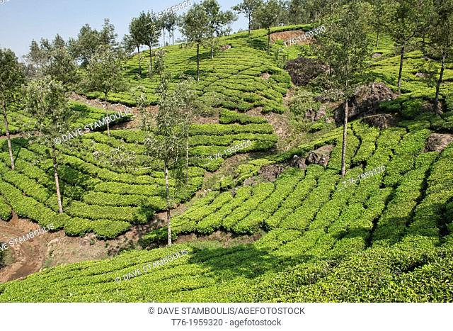 The beautiful tea plantations of Munnar, a hill station in Kerala, India