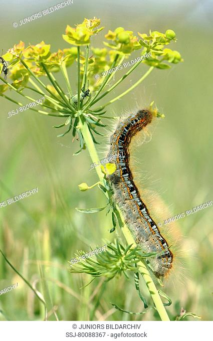 DEU, 2007: Ground Lackey Moth (Malacosoma castrensis), caterpillar on flowering Euphorbia