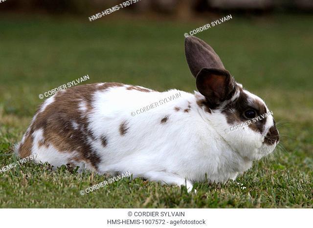 France, Bas Rhin, Bischoffsheim, domestic rabbit