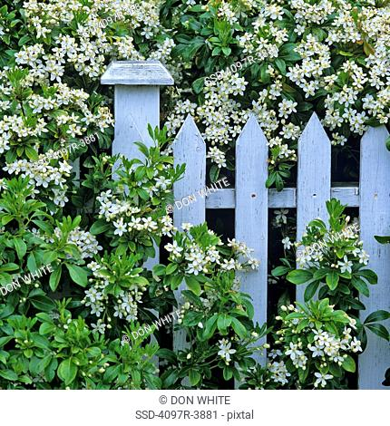 Canada, British Columbia, Victoria, James Bay, Close-up of Mock Orange Philadelphus and white fence