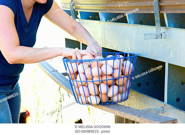 Mid section of woman collecting basket of free range eggs from hens on organic farm