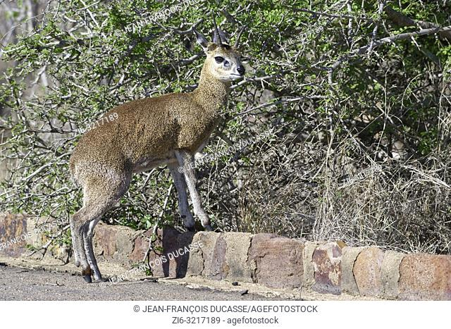 Klipspringer (Oreotragus oreotragus), adult male, standing at the edge of a tarred road, alert, Kruger National Park, South Africa, Africa