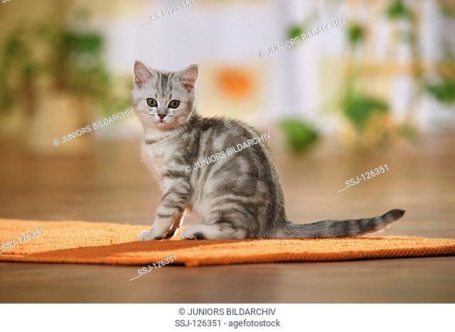 British Shorthair kitten - sitting on rug restrictions:Tierratgeber-Bücher / animal guidebooks