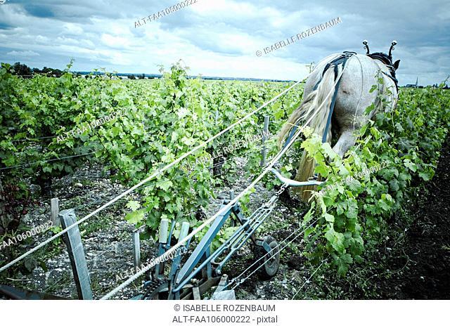 Horse pulling plow in vineyard