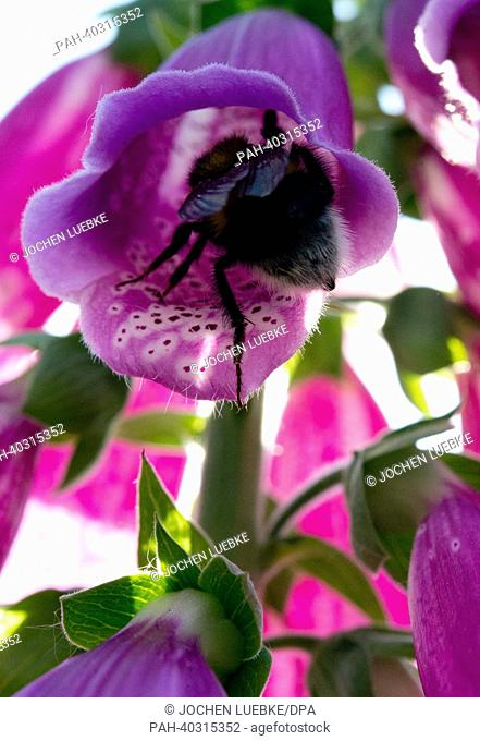 A bee hovers flies into a foxglove flower in Hanover, Germany, 18 June 2013. Photo: JOCHEN LUEBKE | usage worldwide. - Hanover/Lower Saxony/Germany