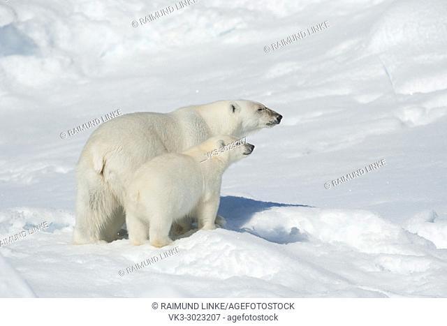 Polar Bear, Ursus maritimus, Mother with Cub, North East Greenland Coast, Greenland, Arctic