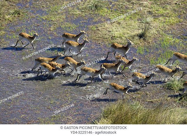 Red Lechwe (Kobus leche), running in the freshwater marsh, aerial view. Okavango Delta, Moremi Game Reserve, Botswana. The Okavango Delta is home to a rich...