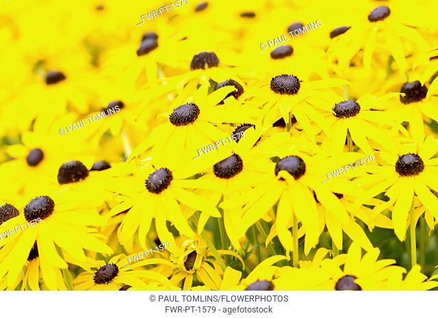 Coneflower, Black-eyed Susan, Rudbeckia fulgida var. deamii, Mass of flowers growing outdoor.-