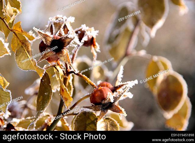 Hagebutte im Winter - hip in winter 02