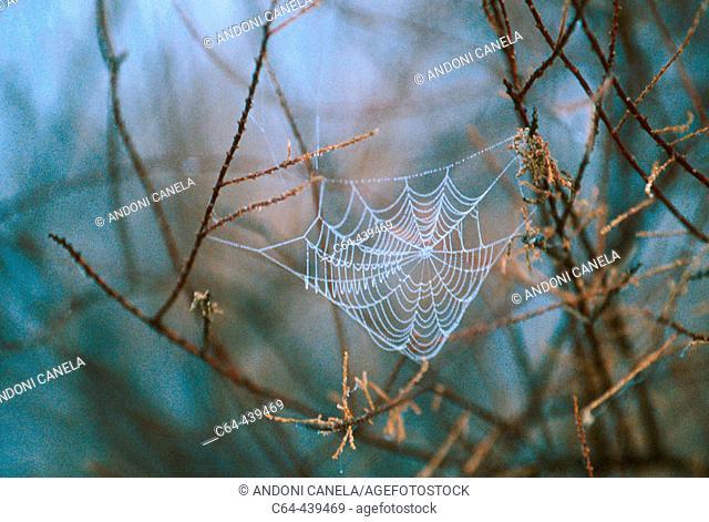 Spider`s web. Doñana National Park. Andalucia. Spain