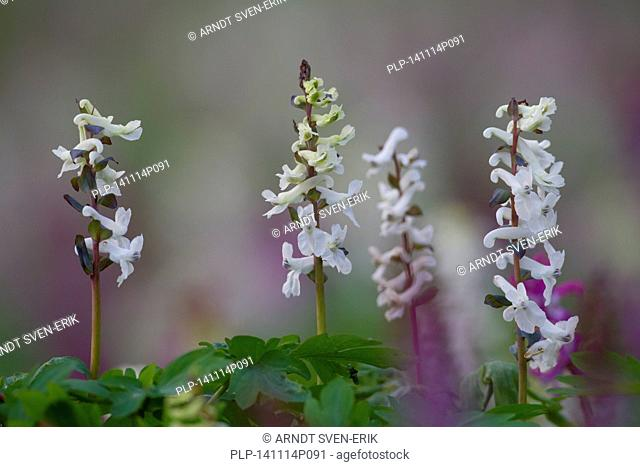 Bulbous Corydalis / Holewort / Hollow leek / Hollow root / Hollow wort (Corydalis cava / Corydalis bulbosa) in flower in forest