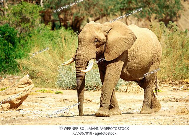 Desert elephant (Loxodonta africana). Hoanib river. Namibia
