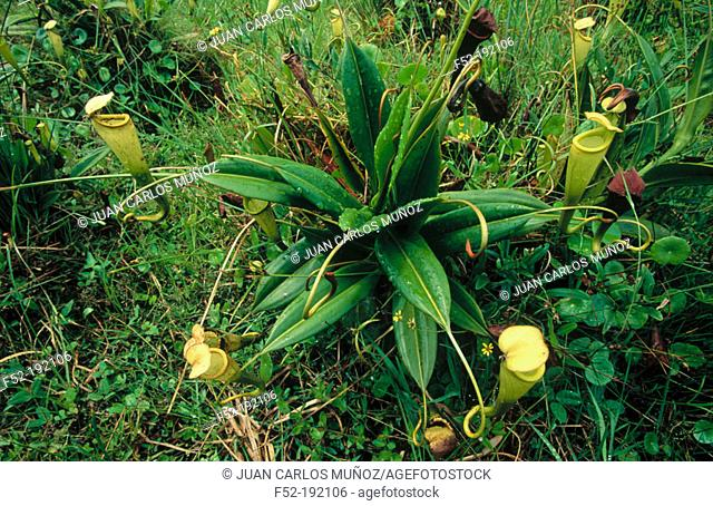 Pitcher plant (Nepenthes madagascariensis). Madagascar